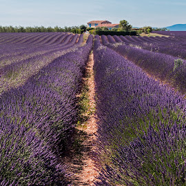 House on Lavender by Peter Zendman - Landscapes Prairies, Meadows & Fields ( provence, purple, 2016, france, flowers, landscape, lavender, peter zendman fotografie )