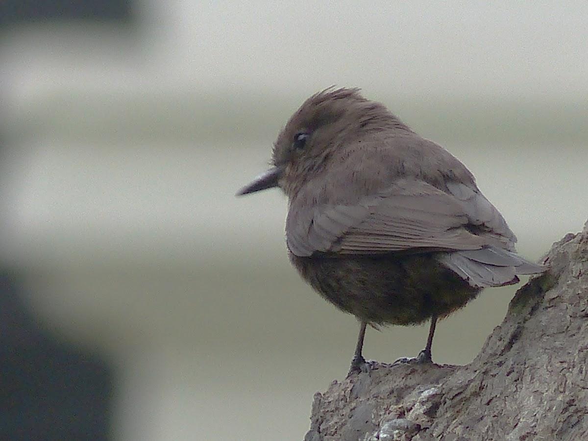 Vermilion Flycatcher - melanistic form