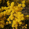 Wallangarra Wattle