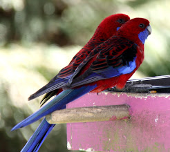 Photo: Year 2 Day 144 - Wild Parrots, Imagine These on Your Bird Table in the UK