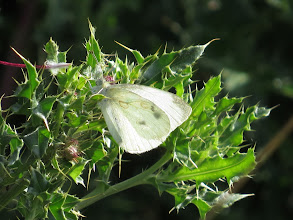 Photo: 14 Aug 13 Wood Lane: This Large White moth shows two oval-shaped brown marks on the wing: something I have never noticed before and cannot find any reference to in any literature. (Ed Wilson)