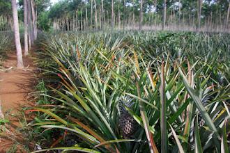 Photo: Так растут ананасы