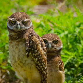 The Burrowing Owl by Satyam Muench - Animals Birds ( small owls, owls of florida, owl, burrowing owls, owls of cape coral )