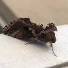 Soybean Looper Moth