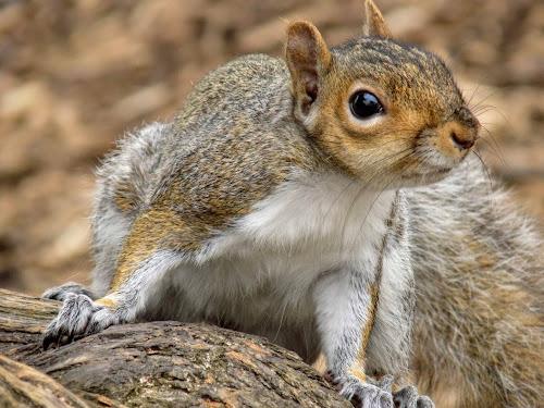 Close to me by Poli Paunova - Animals Other ( #close, #animal, #squirrel )