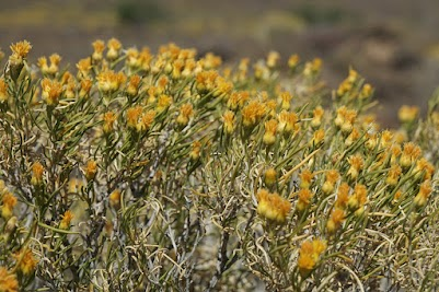 Gelb blühender Busch in der Tankwa Karoo