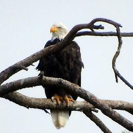 EAGLE EYE VIEW by Cynthia Dodd - Novices Only Wildlife ( bird, animals, sky, eagle, bird of prey, tree, nature, wildlife, tree tops )
