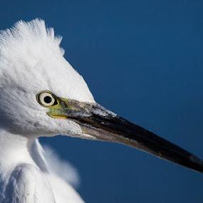 Little Egret by Martin Oosthuizen - Animals Birds ( bird, avian, crown, little, egret )