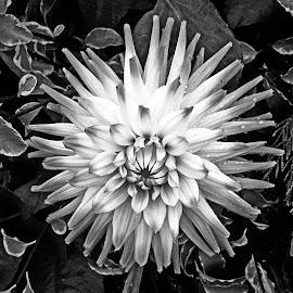 B&W flower 15 by Michael Moore - Black & White Flowers & Plants
