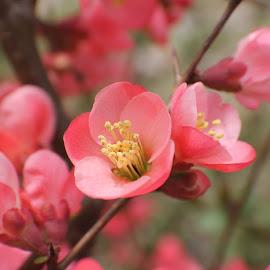 Flowers by Karen Carter Goforth - Uncategorized All Uncategorized ( bush, pink, flowers,  )