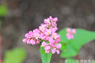 Photo: 拍攝地點: 梅峰-溫帶花卉區 拍攝植物: 蕎麥 拍攝日期: 2014_08_18_FY