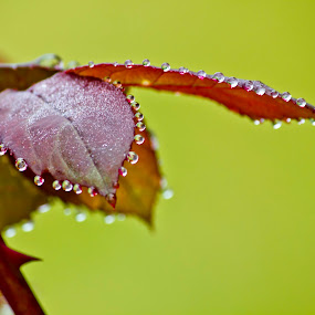 Magic of the rain.. by Edit Peterffy - Nature Up Close Leaves & Grasses ( red, green, drops, leaves, rain, close-up, reflection, reflections, people, places, architecture, building,  )