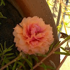 9 O clock flower/Moss Rose