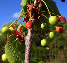 Photo: First Crop of Cherries