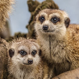 Posers by Garry Chisholm - Animals Other Mammals ( nature, mammal, meerkat, garry chisholm )