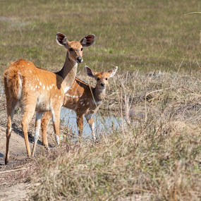 Bushbuck with baby by Ada Louw - Animals Other