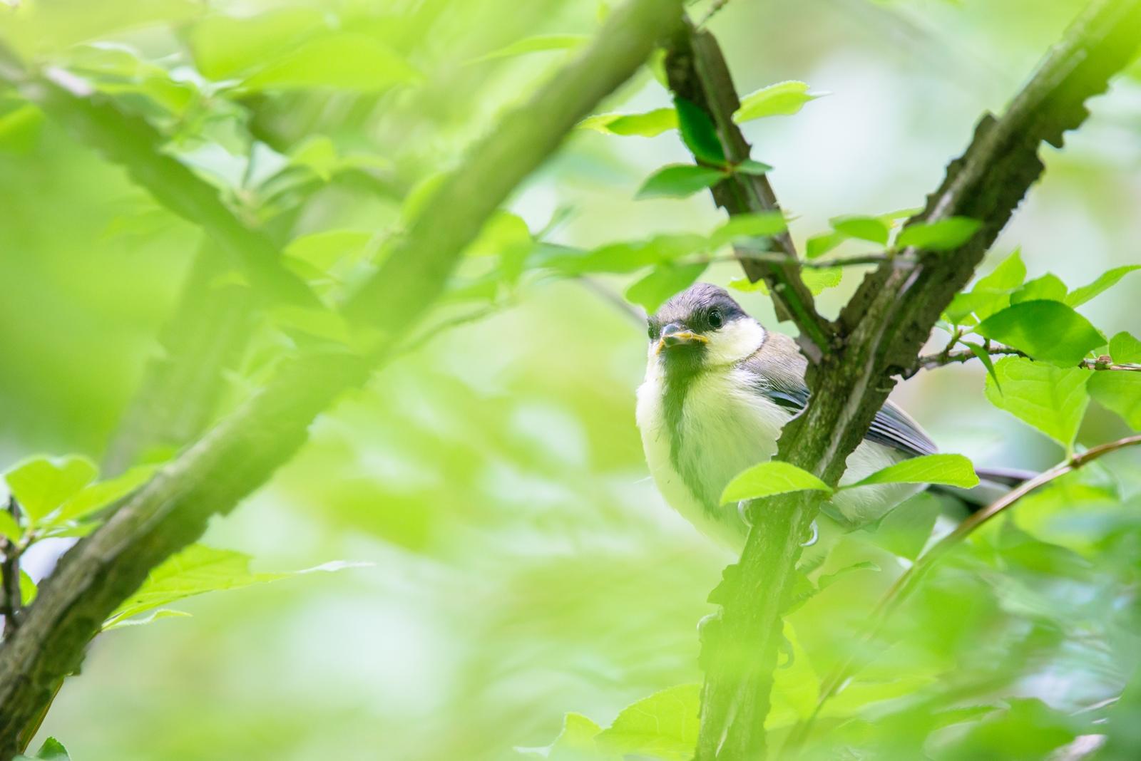 Photo: 視線 Feel your stare.  感じる視線 じっと様子を伺っている 不安と好奇心 膨らむ知りたいという気持ち  Japanese Tit. (シジュウカラ)  #birdphotography #birds #cooljapan #kawaii #nikon #sigma  Nikon D800E SIGMA 150-600mm F5-6.3 DG OS HSM Contemporary  SIGMAさんより先月発売された 新しいレンズを使い始めました。 これまでのレンズよりも世代もぐ~んと新しくなり、 光学性能もだいぶ進化しているようで フォーカスの当たる面の像が とってもくっきりと現れてくれます。 今後の撮影もとても楽しみです♪  ・小鳥の詩朗読 /poetry reading https://youtu.be/r9Io8eCH9AI?list=PL2YtHGm0-R3qVsaqvQe9OYdJFCkI98wzF