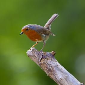 Little Warrior by CLINT HUDSON - Animals Birds ( bird, robin, christmas, robin red breast, garden )