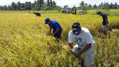 Photo: An organic SRI rice field maintained by ZIDOFA farmer's cooperative in Iloilo, The Philippines,  harvested by by DAO farmers and students. [Photo courtesy of Joby Arandela, The Philippines, 2015]