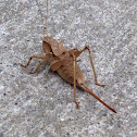 Short-legged Shield-back katydid