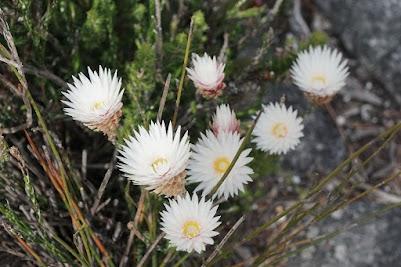 Fynbos auf dem Tafelbarg