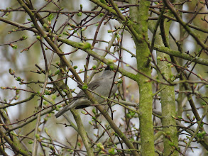 Photo: Priorslee Lake Not by best ever shot of a Blackcap. (Ed Wilson)