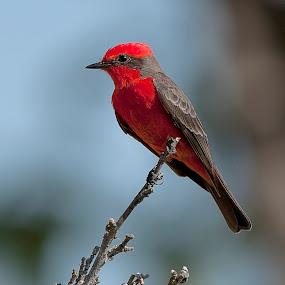 Red bird by Cristobal Garciaferro Rubio - Animals Birds ( bird, little red bird, red bird, little bird, branches )