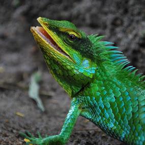 Chameleon  by Madhu Soodanan - Animals Reptiles