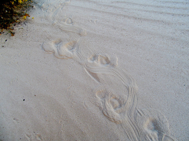Porcupine tracks in the sand