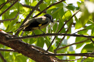 Photo: Yellow-winged Tanager (Abttangare); Tolantongo, HGO