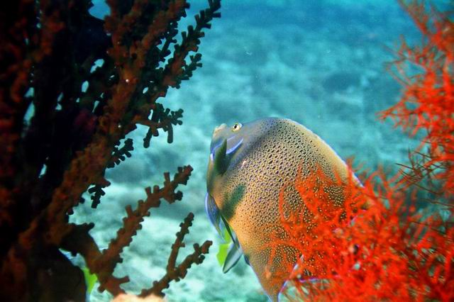 Photo: Poisson Ange aux Mitsio à Madagascar