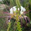 Mexican Clammyweed or Hierba del Coyote