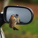 Rufous-collared sparrow / Come Maíz