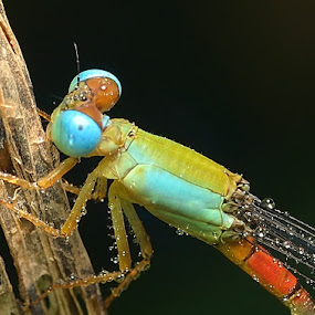 Blue dragonfly by SHAMSOL BAHREN ABAS - Animals Other
