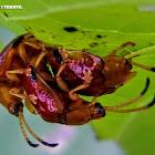 Bọ Rùa Lá Cách. Premna Tortoise beetle