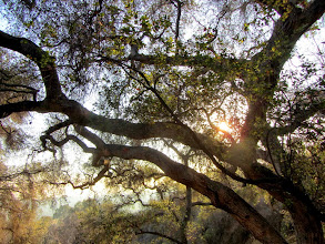 Photo: The late afternoon sun shines through the branches of a coast live oak on Colby Trail.