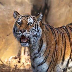 tiger-6.jpg