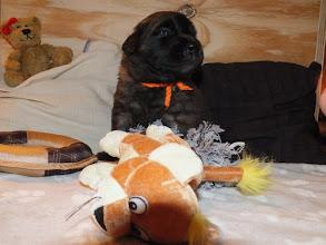 Photo: Hündin orange ( 3 Wochen alt)