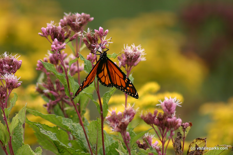 Photo: Monarch on flower at Little River by Lene Gary