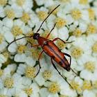 Seven-spotted Longhorn Flower Beetle