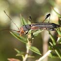 Decora Longicorn Beetle