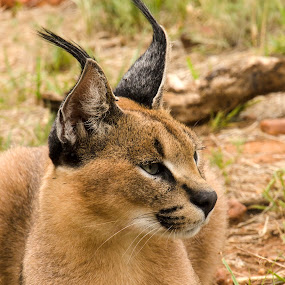 by Cassandra G - Animals Lions, Tigers & Big Cats ( cats, cat, caracal, africa, namibia )