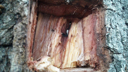 Shot hole borer on the march through Cape Town trees, city council warns