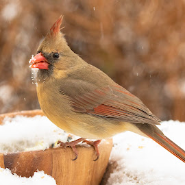 Snowy Snack by Kathy Jean - Animals Birds ( snow, bird, animal, cardinal, female )