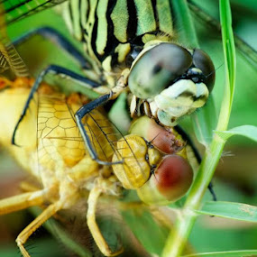 DragonFly Marriage by Teraku Nomiya - Animals Insects & Spiders ( dragonfly marriage )