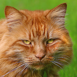 The Stare by Chrissie Barrow - Animals - Cats Portraits ( orange, cat, ginger, pet, stare, whiskers, fur, ears, nose, portrait, eyes,  )
