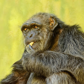 Tasting peanut by Michaela Firešová - Animals Other Mammals ( chimpanzee, eating, close look, mammal, animal,  )