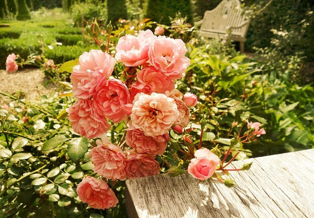 Rose, Flower, Plant, Rose Bush, Pink Roses, Table