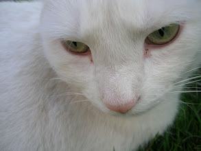 Photo: Verdi's Eyes...  They say the eyes are windows to the soul... But they are also mirrors into what we see in ourselves... --------------------------------------------------------------------- ... for my friend +Jules Hunter ... a late +CATURDAY! image of an old friend who I miss very much.... A cat with a wild and passionate soul...