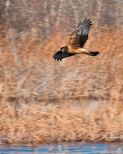 Photo: Northern harrier looking for brunch